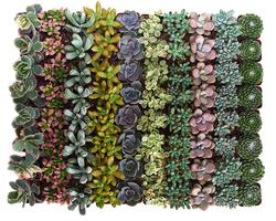 Pastel Succulent Set of 100