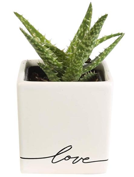 Mini Aloe in Ceramic Planter