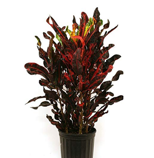 Red Mammey Plant