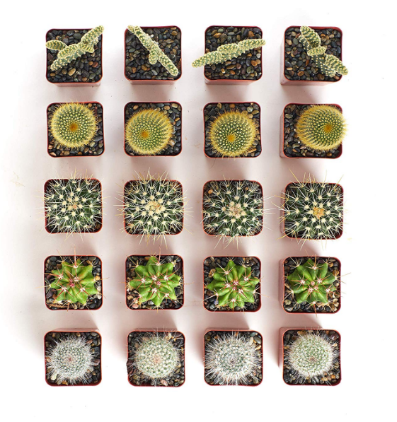 Assorted Cactus Set of 20