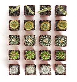 Assorted Cactus Set of 20