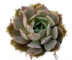 Iola Succulent