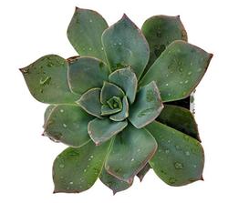 Blue Rose Succulent