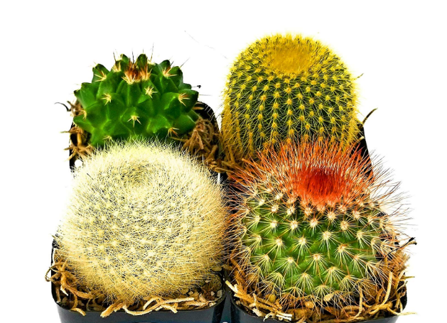 Desert Cactus Set of 4