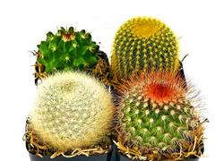 Desert Cactus Set of 4