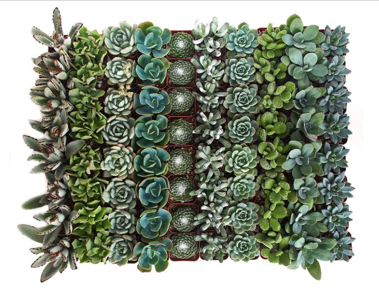 Blue Green Succulent Set of 100