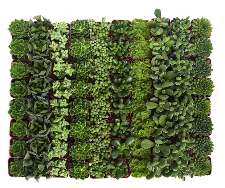 Green Succulent Set of 100