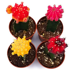 Moon Cactus Set of 4