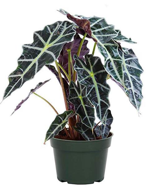 Alocasia Plant