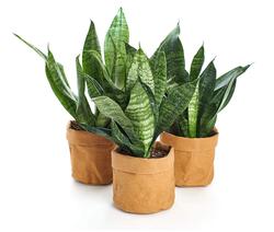 Snake Plant Set of 3