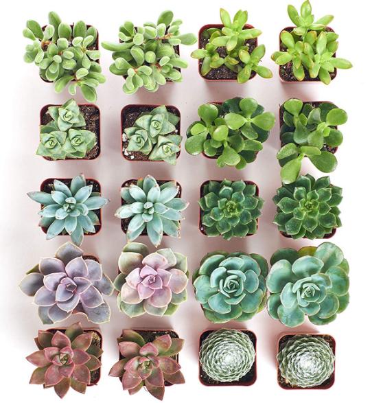 Assorted Succulents Set of 20