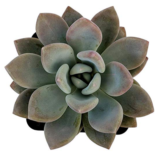Pachyveria Opalina Succulent