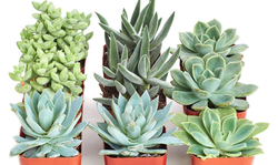 Blue Green Succulent Set of 9