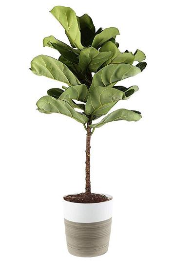 Buy Fiddle Leaf Fig
