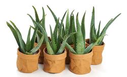 Aloe Vera Set of 6
