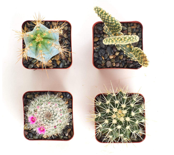 Assorted Cactus Set of 4