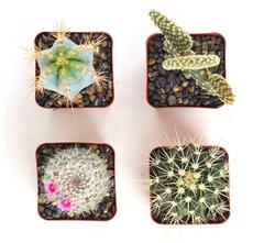 Assorted Cactus Set of 4