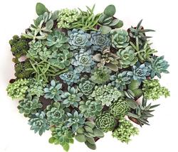 Blue Green Succulent Set of 40