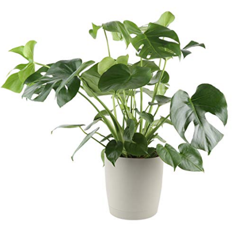 Philodendron Monstera in Planter