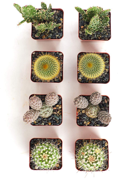 Assorted Cactus Set of 8