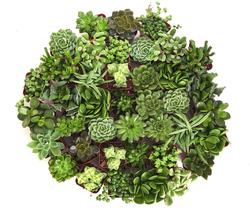 Green Succulent Set of 40