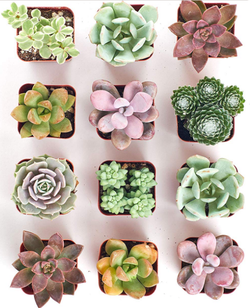 Pastel Succulent Set of 12