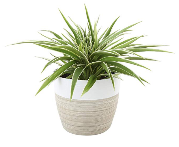Spider Plant in Planter