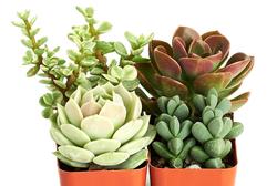 Portland Succulent Set of 4