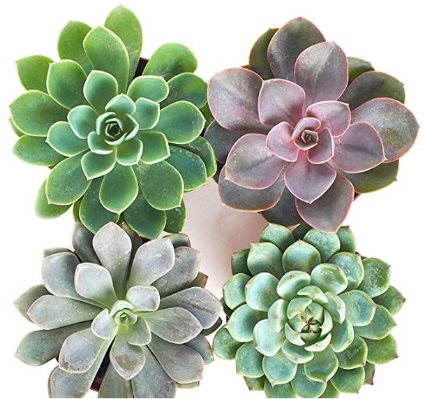 Rosette Succulent Set of 4