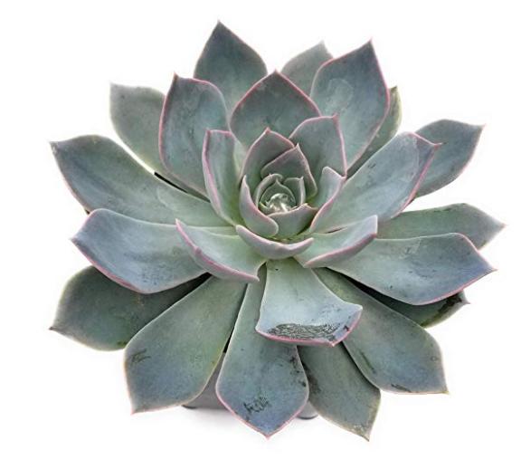 Subsessilis Succulent