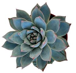 Blue Bird Succulent