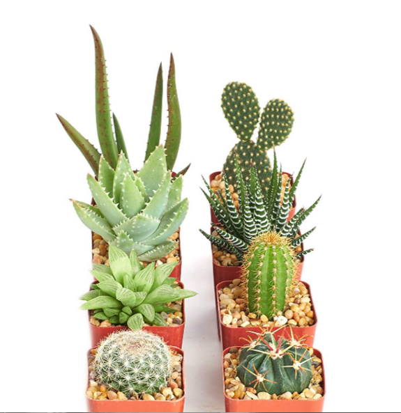 Hardy Cactus Set of 8