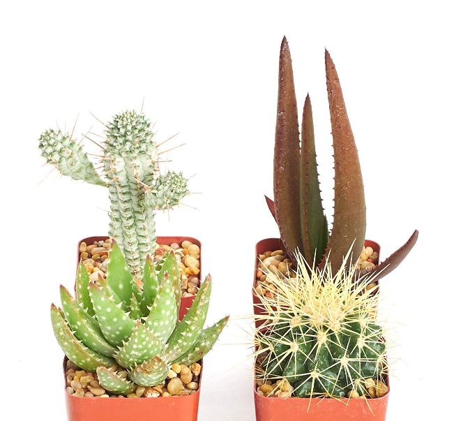 Hardy Cactus Set of 4