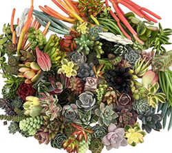 10 Assorted Succulent Cuttings