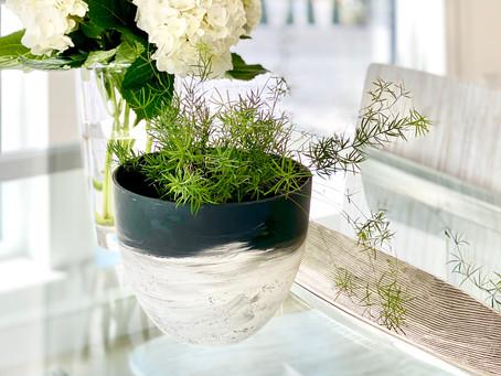 Plant Spotlight: Asparagus Fern