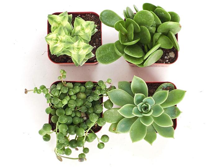 Green Succulent Set of 4