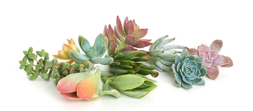 Buy Succulent Cuttings