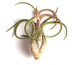 Tillandsia Medusae Air Plants