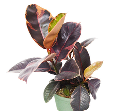 Ruby Pink Rubber Plant