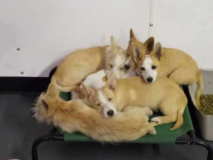 A pile of podengos!.jpg