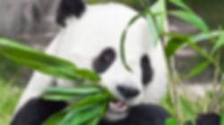 photo de panda.jpg