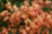 acer_palmatum_orange_dream.jpg