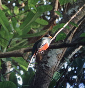 Samara_Trails_Elegant_Trogon-985x1024.jp