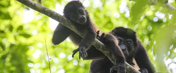 howler-monkey-mother-and-baby-samara-tra