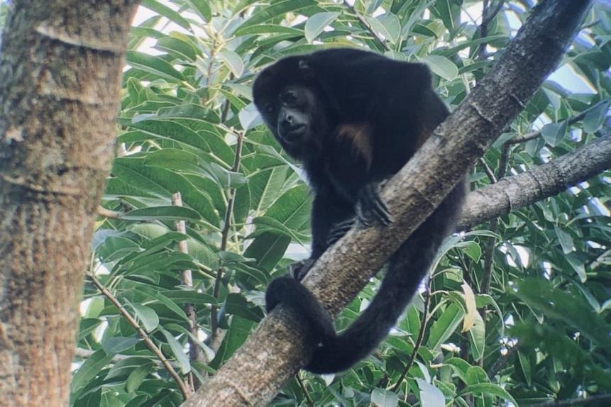 Samara_Trails_Howler_Monkey-e15446710853