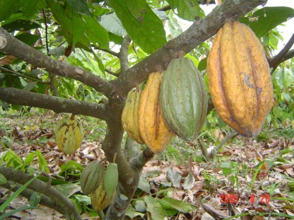 Cacao-made-in-Honduras.JPG