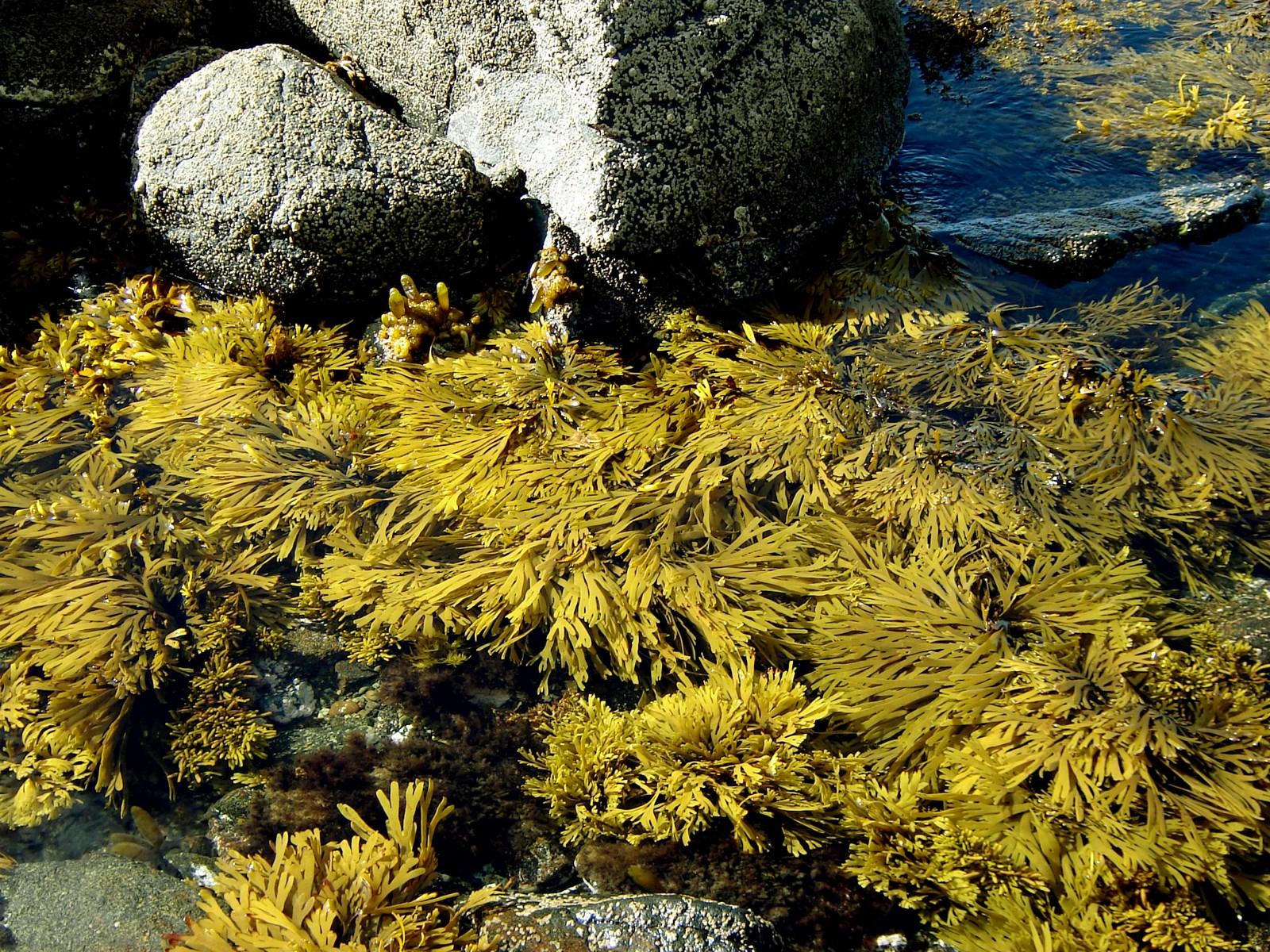 xiphophora_gladiata_subsp_novae-zelandiae_st_island (Copiar).jpg