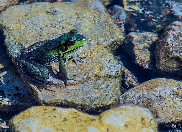 Bookmark - Frog