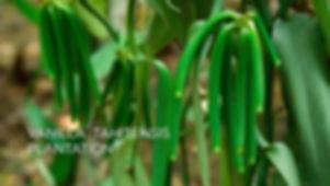 2 VANILLA PLANTATION_EN .jpg