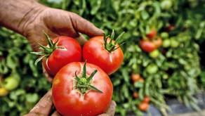 Nos tomates bio n'ont pas peur de l'hiver!